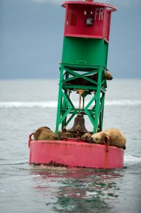 Sea Lions in Juneau